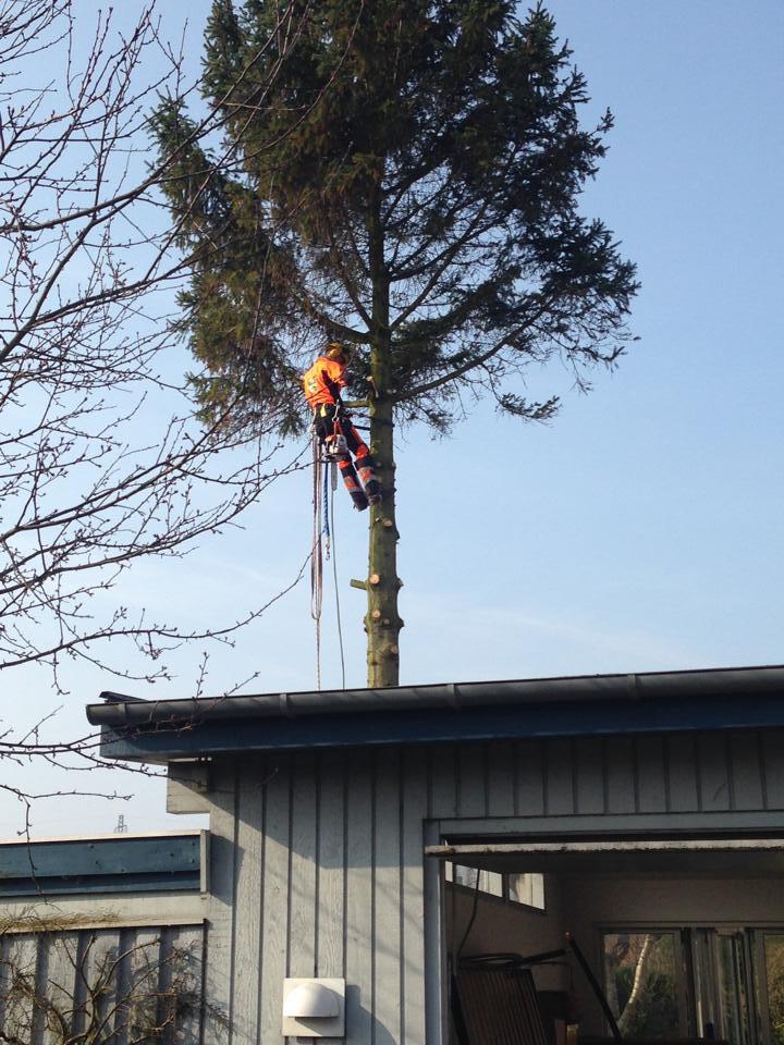 Fældning af højt træ af professionel